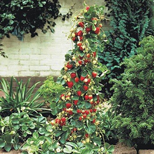 100 graines / pack géant Red Strawberry Escalade Graines de fruits Graines Pour les semences rares Maison & Jardin Bricolage pour bonsaï