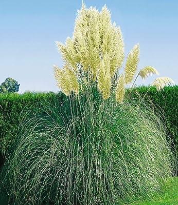 BALDUR-Garten Weißes Pampasgras, 1 Pflanze Cortaderia selloana von Baldur-Garten - Du und dein Garten