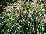 3 x Pennisetum alopecuroides 'Magic' 1 Liter (Ziergras/Gräser/Stauden) Lampenputzergras ab 3,19 pro Stück