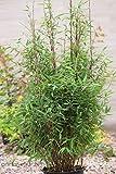 Roter Zebrabambus `Red Zebra´ ® Größe 15-L-Topf, 80-100 cm Pflanzenhöhe