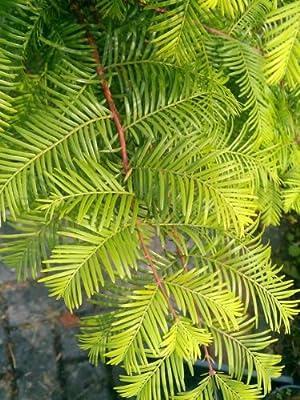 Urwelt Mammutbaum Metasequoia glyptostroboides 80 - 100 cm hoch im 5 Liter Pflanzcontainer von Plantenwelt Wiesmoor bei Du und dein Garten