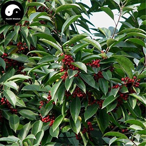 comprare ilex rotonda albero semi 240pcs piante kurogane agrifoglio cinese tie dong qing