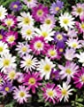 Anemonen Zwiebeln blanda gemischt von Blumenhandel Ullrich bei Du und dein Garten