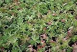 Geranium macrorrhizum Felsen-Storchschnabel 9 cm Topf 90 St.