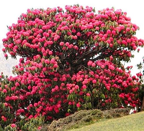 Portal Cool Samen Paket: Rhododron Arboreum, Guinness-Rekord-Baum-n-Samen 10 Samen (Rekord-pakete)