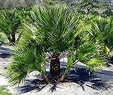 Frostharte Chamaerops humilis Höhe 70-90 cm. Eine der kältetolerantesten Palmenarten in Europa