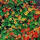 Pinkdose® Pinkdose Blumensamen: Scarlet Red Kapuzinerkresse Blumensamen Jährliche Pflanzensamen Hybrid-Kletterpflanzen Samen - Terrasse Garten Samen (9 Pakete) Gartenpflanze Se
