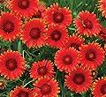 lichtnelke - Kokardenblume (Gaillardia aristata) Mesa™ Red von Lichtnelke Pflanzenversand - Du und dein Garten