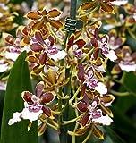 Vivai Le Georgiche Orchidea Burrageara Tropic Jungle Cambria