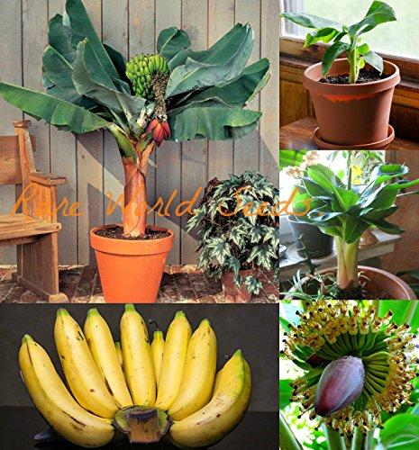 Royal Paradise Garden Musa Acuminata Super Dwarf Cavendish Banana Seeds -25 Seeds