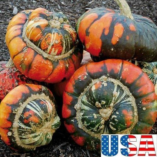PLAT FIRM GRAINES DE GERMINATION: 40 graines: USA SELLER Turk's Turban Squash/Gourd 10-40 graines HEIRLOOM NON-OGM