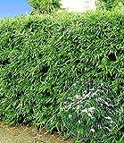 BALDUR-Garten Winterharte Bambus-Hecke, 10 Pflanzen, Fargesia murielae Simba Vergleich