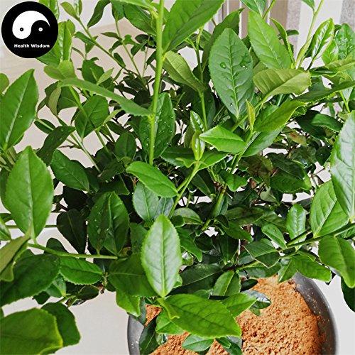 Shopmeeko Kaufen Sie echte Olong Teebaum Semente 60 Stücke Anlage chinesischen Anxi Tieguanyin wachsen Wulong Cha Baum Ti Kwan Yin