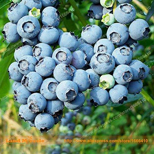 Dwarf Bush Organic Blueberry-Samen, 100 Samen / Pack, Topf Obst Blaubeeren Samen Bonsai-Baum für Garten & Balkon-Land Miracle
