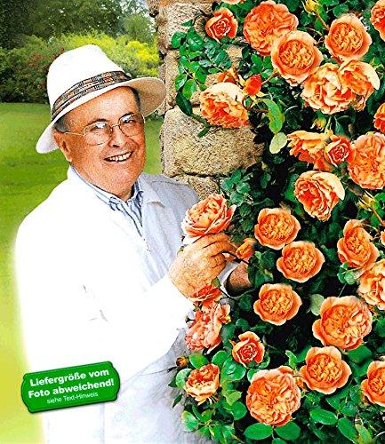 BALDUR-Garten Delbard® Kletterrosen 'Papi Delbard®', 1 Pflanze winterharte Kletterpflanze