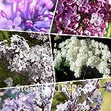 Garten-Anlage Heißer Verkauf 100pcs / lot lila Blumen-Samen, seltene Flieder-Samen, Bonsais-Blumen-Baum-Samen