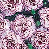 Portal Cool Nelke Dianthus Samen Topf Hof Garten Pflanzen Blumensamen Bonsai Neu