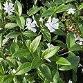 Variante Immergrün von Garten Schlüter bei Du und dein Garten