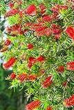 Zylinderputzer - Callistemon rigidus - Rote Blüten - 100-120cm Topf Ø 26cm - 8,4 Ltr.