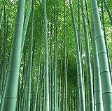 RIESENBAMBUS Samen - 60 (!) Stück - Moso Bambus - Winterhart wächst 8 bis 10 Meter in Rekordgeschwindigkeit