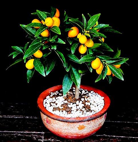 20pcs Obst Samen Balkon Terrasse Topfobstbäume gepflanzt Samen Kumquat Samen Früchte Bonsai Tree Garten Dekoration Topfpflanzen