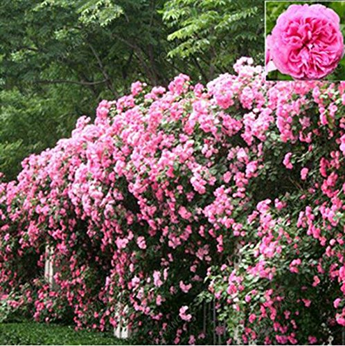 100 graines / l'unité Red Rose Tree Graines Heirloom grande escalade Plante vivace Rosa Rugosa Fleurs odorant jardin Plantes Violet