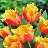 Gefranste Tulpe Lambada - 10 blumenzwiebeln