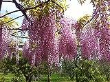 Tropica - bonsaï - glycine de Chine (Wisteria sinensis) - 4 graines