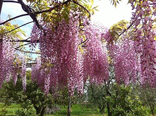 tropica-bonsai-glicine-wisteria-sinensis-4-semi