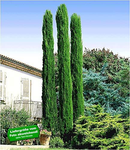 BALDUR-Garten Echte Toskana 'Säulen-Zypressen', 1 Pflanze, Cupressus sempervirens pyramidalis Mittelmeer-Zypresse winterhart