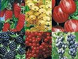 5 x Beerenobst Angebot - je 1x Stachelbeere, Himbeere, Johannisbeere, Heidelbeere, Brombeere (Ribes, Rubus,Vaccinium)