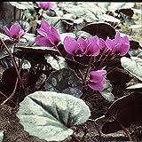 1 x Cyclamen Hederifolium - Cyclamens Vivaces de Jardin - Floraison Septembre-Novembre