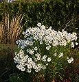 Oktober Margerite Herbststern - Leucanthemella serotina von Baumschule - Du und dein Garten