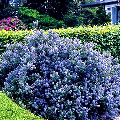 1-x-ceanothus-yankee-point-california-lilac-evergreen-shrub-hardy-plant-in-pot