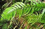 Angiopteris evecta - Riesen Farn - 100 Samen