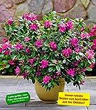 BALDUR-Garten Durchblühende Azalee 'Bloom Champion' purple