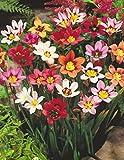 20 MIXED COLOUR SPARAXIS BULBS (HARLEQUIN FLOWERS) FOR BORDER PATIO ROCKERY GARDEN PERENNIAL PLANT - Dstubbs Sales - amazon.co.uk
