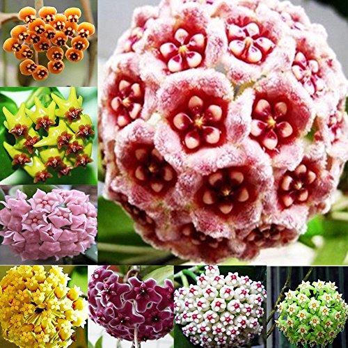 Semi, Catkoo 300 Pz Colore misto Hoya Semi Forniture da giardino Decorazione Semi di fiori in vaso
