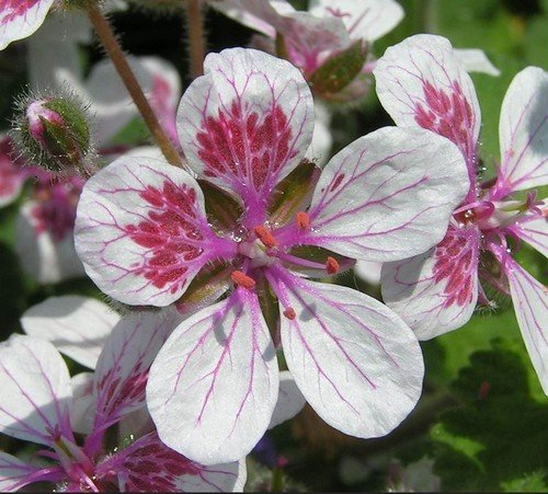 Plant World Seeds - Erodium Pelargoniflorum Seeds