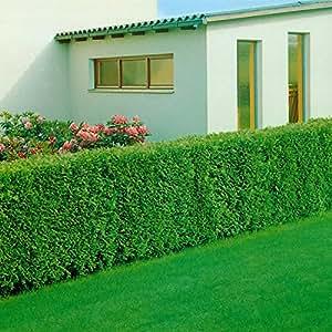 spar pack lebensbaum hecke brabant 12 pflanzen f r ca 4. Black Bedroom Furniture Sets. Home Design Ideas