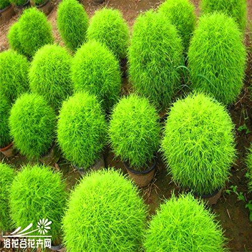 graines broomsedge, les graines en pot à la maison broomsedge de semences de gazon jardin, 100 pcs / sac S011