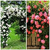 Best Climbing Roses - (2 Packs) Climbing Rose Flower Seeds Combo of Review