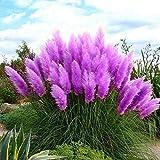 Bombay 1000 pezzi semi di erba pampas semi di erba per piantare giardini (blu, rosa, viola, bianco, giallo)