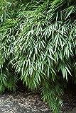 Baumschule Pflanzenvielfalt Fargesia rufa - Hecken- und Garten-Bambus - 40-60 cm - Immergrün