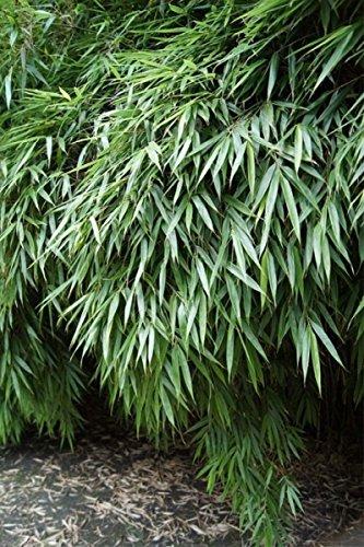 fargesia hecke Baumschule Pflanzenvielfalt Fargesia rufa - Hecken- und Garten-Bambus - 40-60 cm - Immergrün