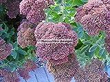 PLAT FIRM Germinación de las semillas: Fuego del otoño de Sedum 4-1/2 Pot (Cuarto)