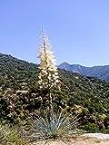 Palmlilie - Yucca Whipplei - verschiedene Größen (30-40cm Topf Ø14cm)