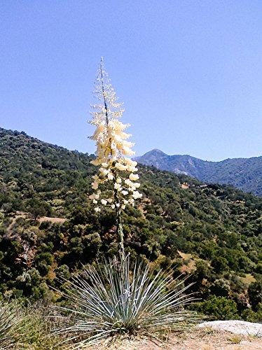 Palmlilie - Yucca Whipplei - verschiedene Größen (Topf: Ø 20cm)