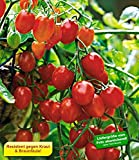 BALDUR-Garten Snack-Tomate Romello F1 2 Pflanzen Kirschtomaten