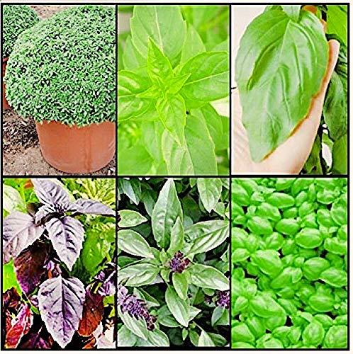 BASILIKUM IN 6 SORTEN, 1200 Samen: Griechischer, Zitrone, Riesen, Lila, Zimt, Pesto Genovese
